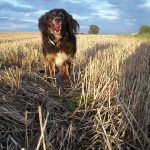 Ruby in the wheat field